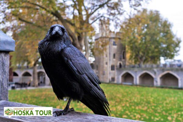 Londýn – havran na pevnosti Tower